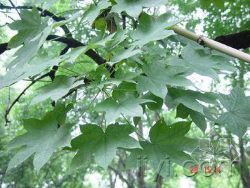 刺楸茎的功效作用