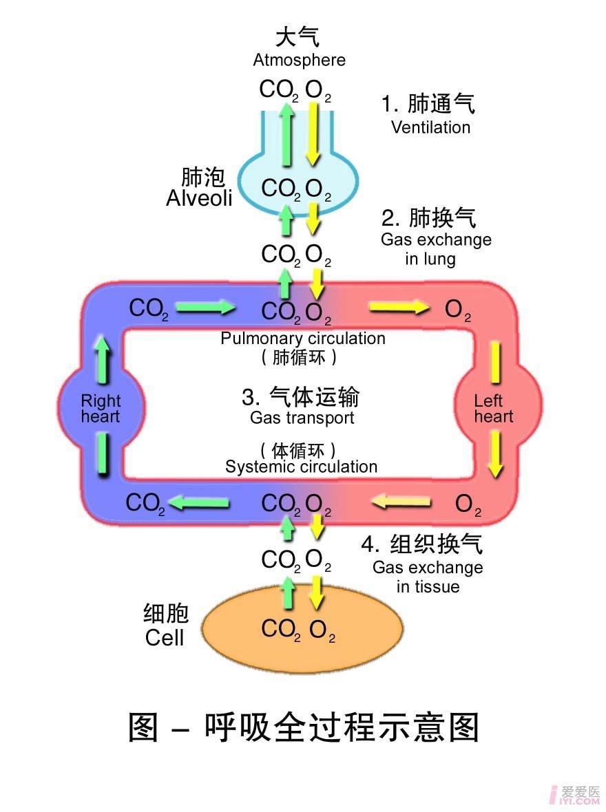 1-呼吸全过程示意图 .jpg