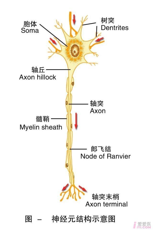 1-神经元结构示意图.jpg