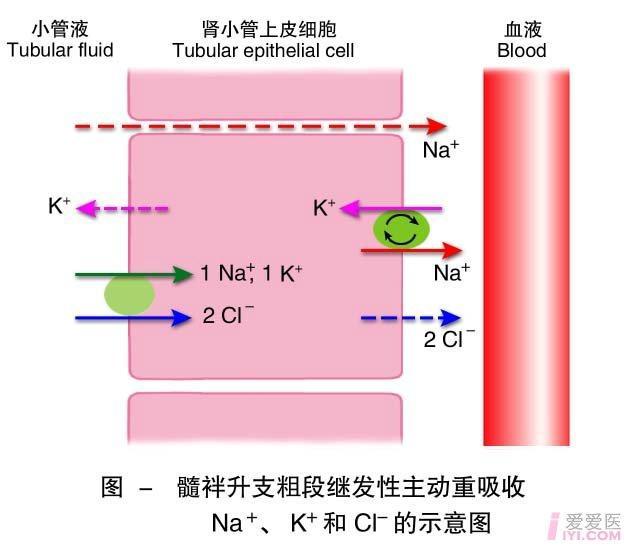 10-髓袢升支粗段继发性主动重吸收Na、K、Cl的示意图.jpg