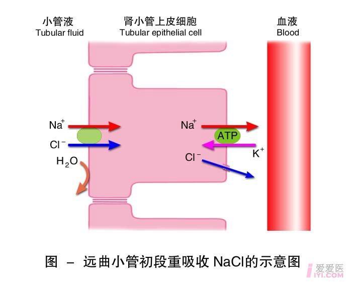 11-远曲小管初段重吸收NaCl的示意图.jpg