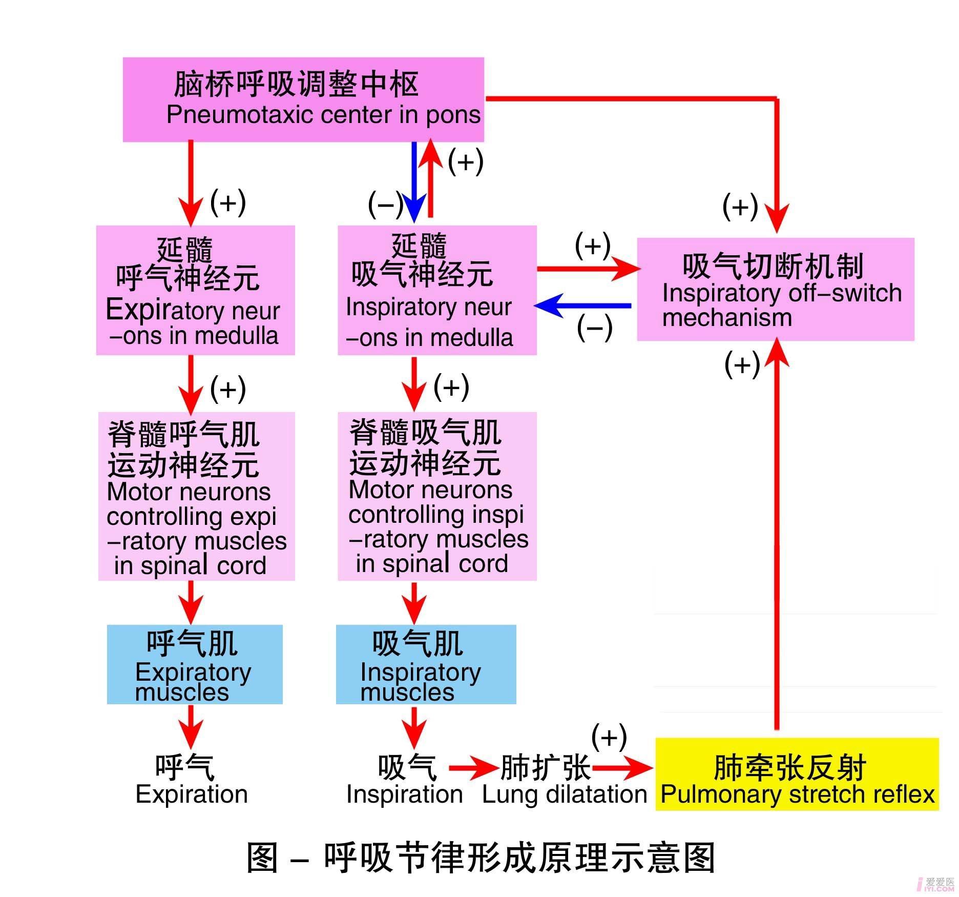 13-呼吸节律形成原理示意图.jpg