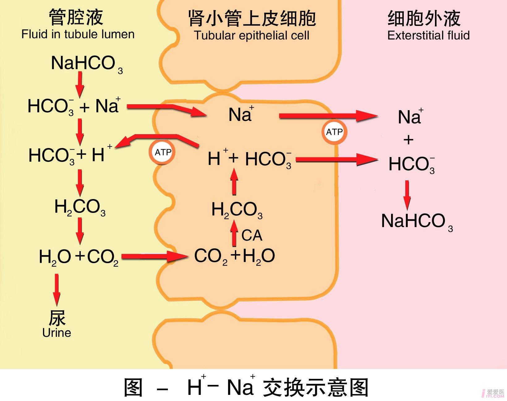 13-氢-钠交换示意图.jpg
