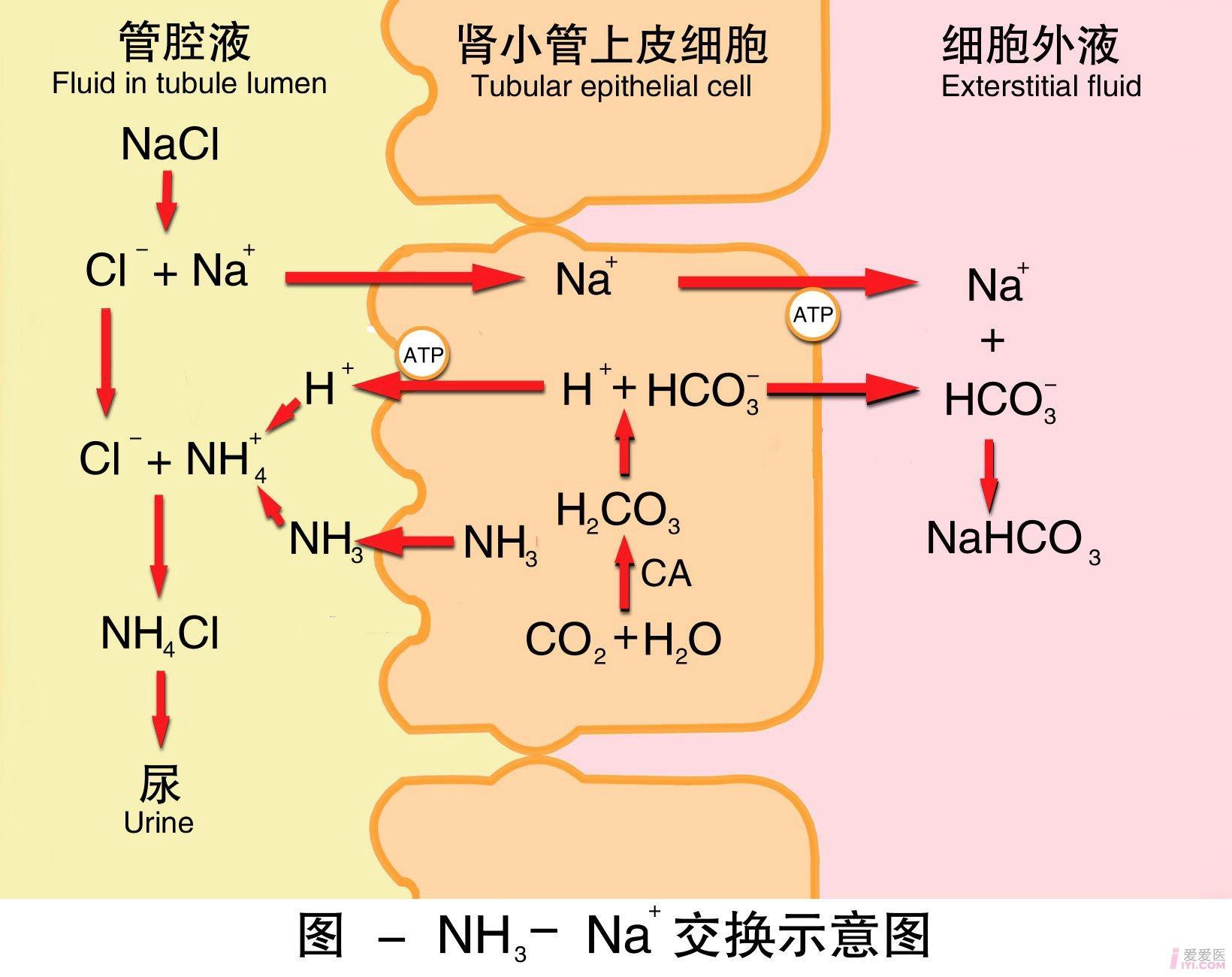 14-氨-钠交换示意图 .jpg