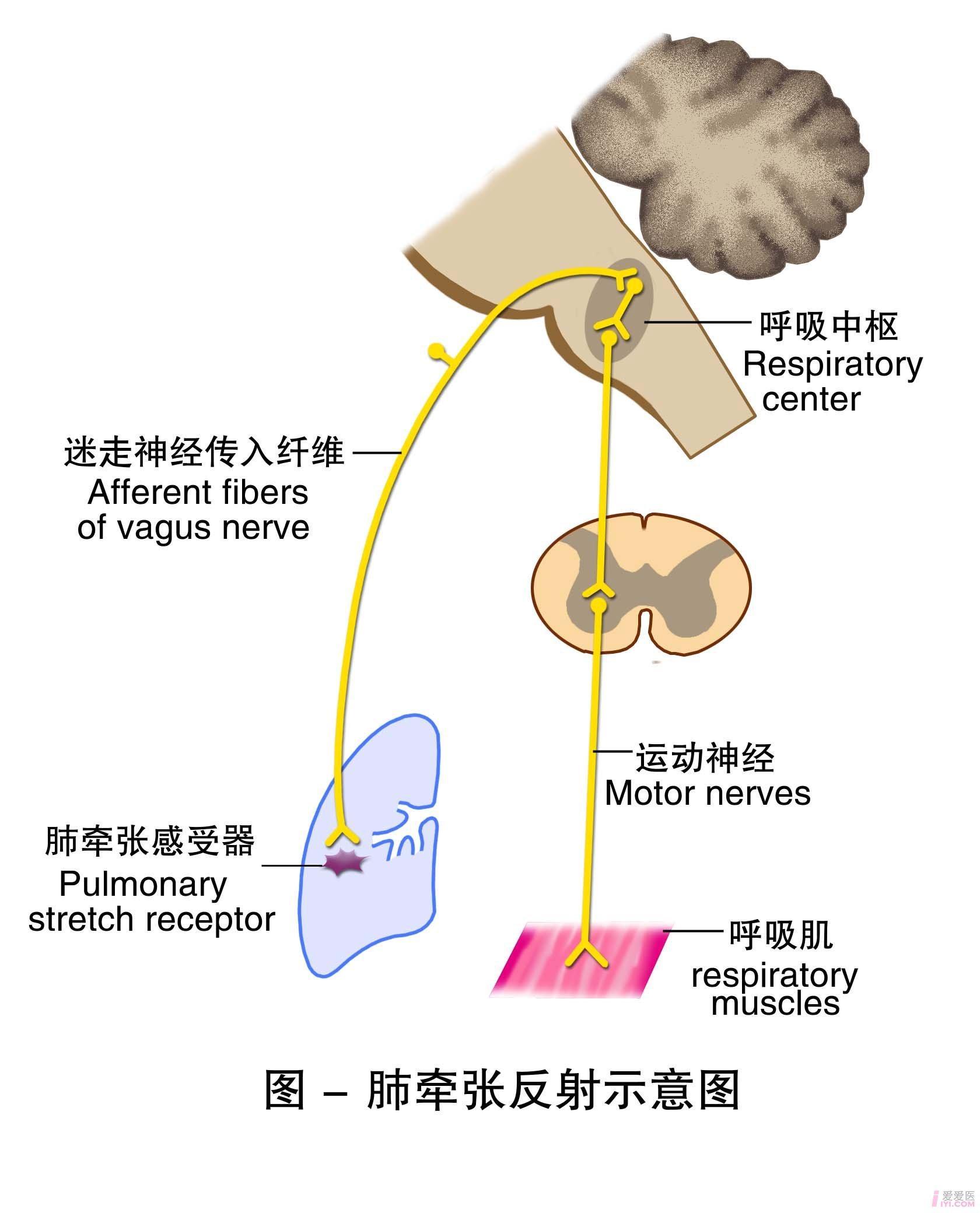 14-肺牵张反射示意图 .jpg