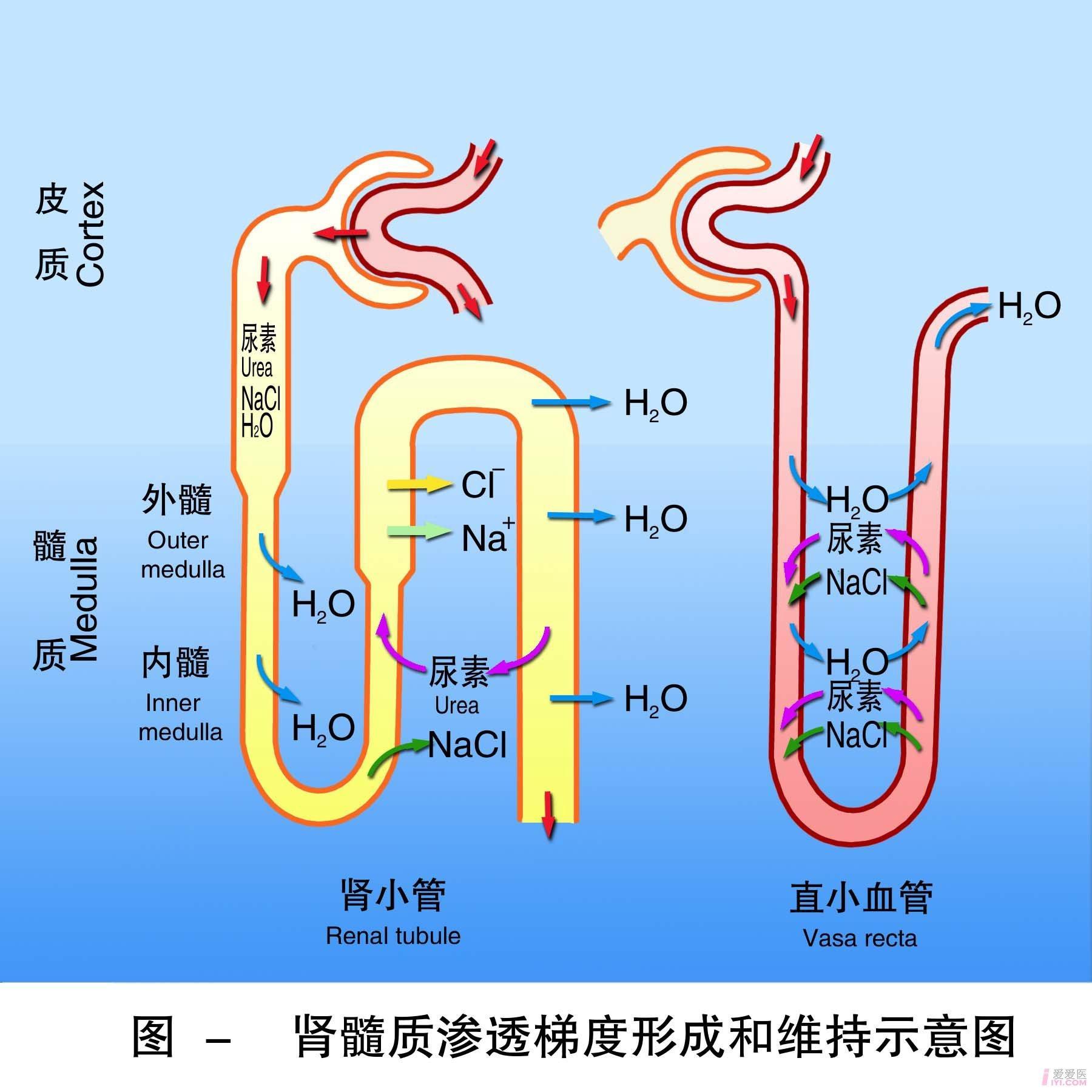 16-肾髓质渗透梯度形成和维持示意图 .jpg