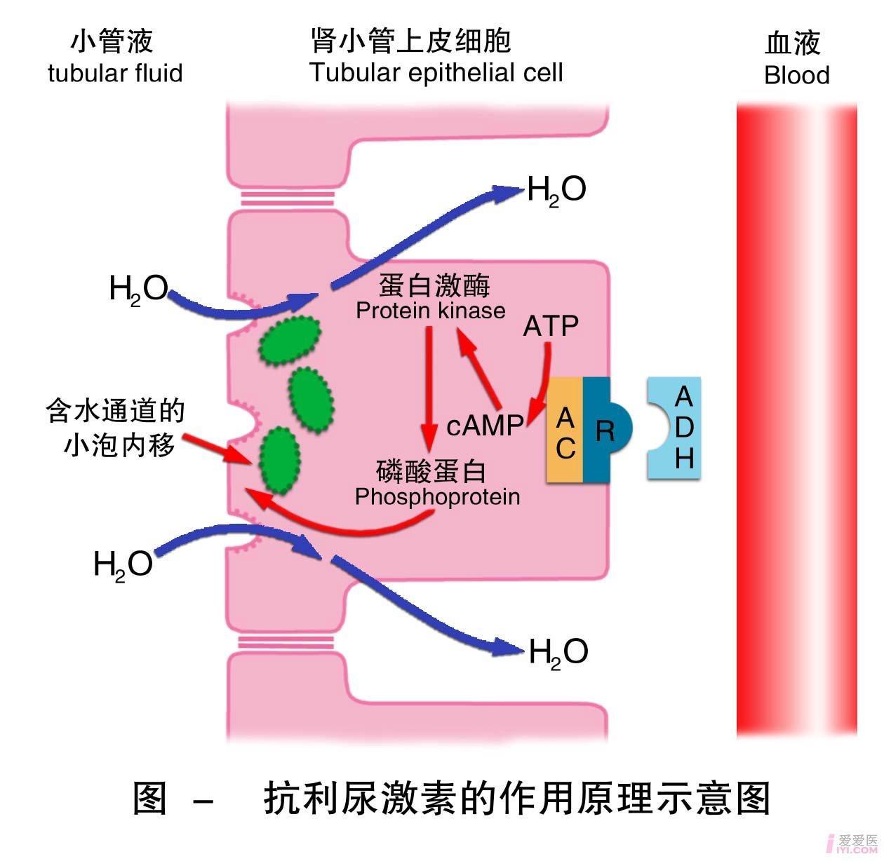 17-抗利尿激素的作用原理示意图 .jpg