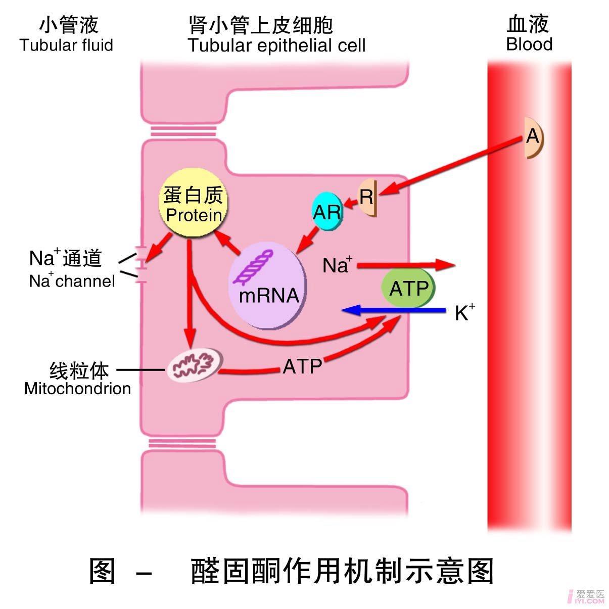 19-醛固酮作用机制示意图 .jpg