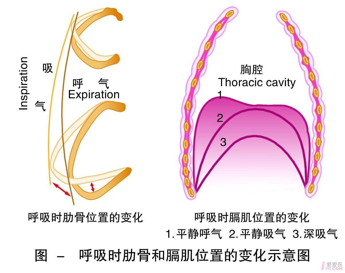 2-呼吸时肋骨和膈肌位置的变化示意图 .jpg