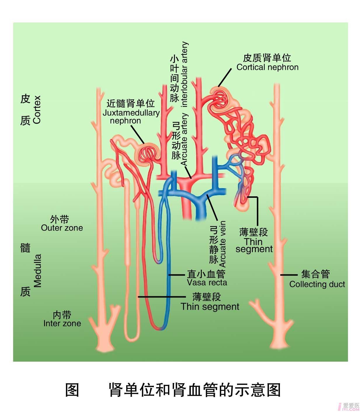 2-肾单位和肾血管的示意图 .jpg