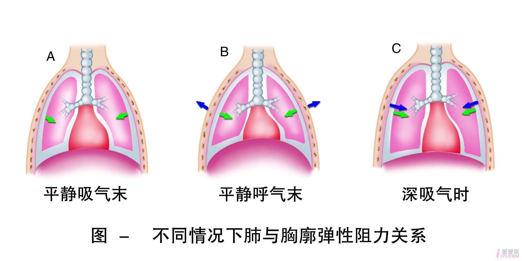 25-不同情况下肺与胸廓弹性阻力的关系 .jpg