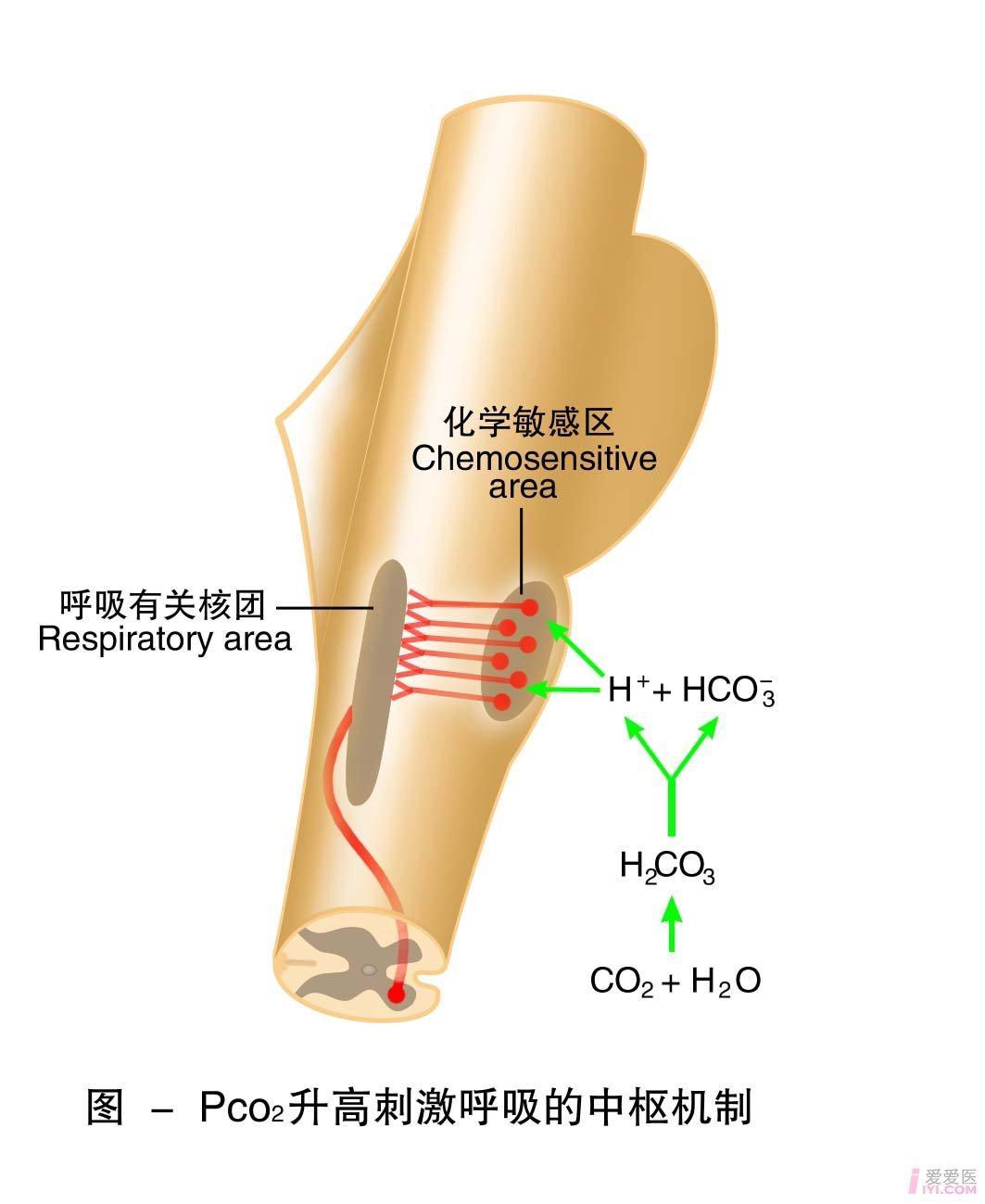 26-PCO2升高刺激呼吸的中枢机制.jpg