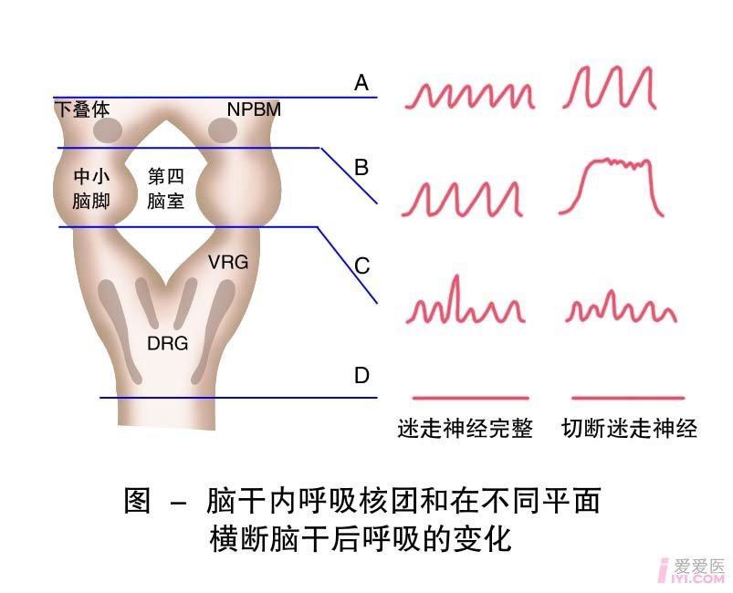 27-脑干内呼吸核团和在不同平面横断后呼吸的变化2.jpg