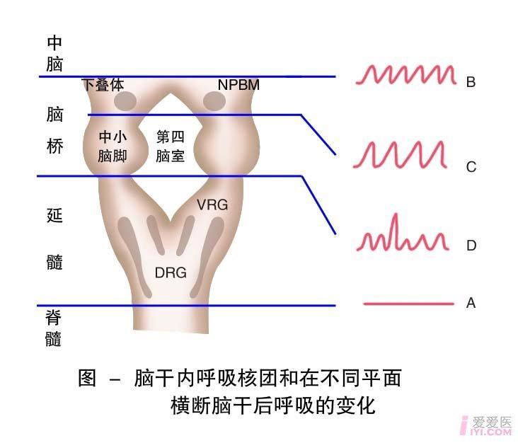 27-脑干内呼吸核团和在不同平面横断后呼吸的变化1.jpg