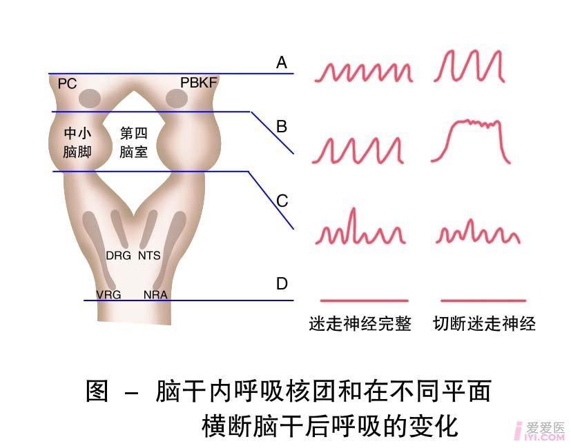 27-脑干内呼吸核团和在不同平面横断后呼吸的变化3.jpg