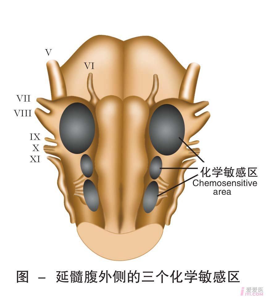 28-延髓腹外侧的三个化学敏感区.jpg