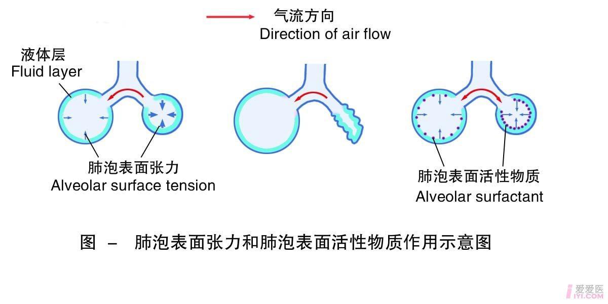 3-肺泡表面张力和表面活性物质作用示意图 .jpg