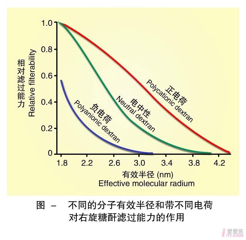4-不同的分子有效半径和带不同电荷对右旋糖酐滤过能力的作用 .jpg