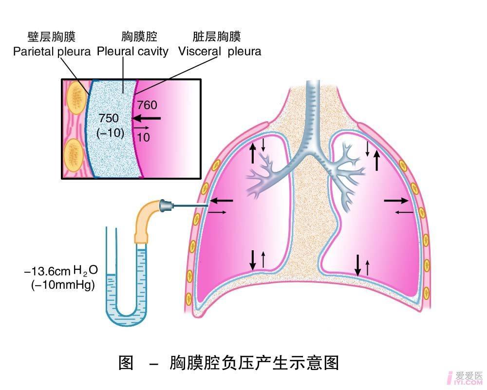 4-胸膜腔负压产生示意图 .jpg
