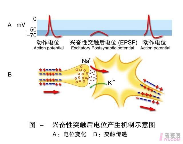 5-兴奋性突触后电位产生机制示意图.jpg