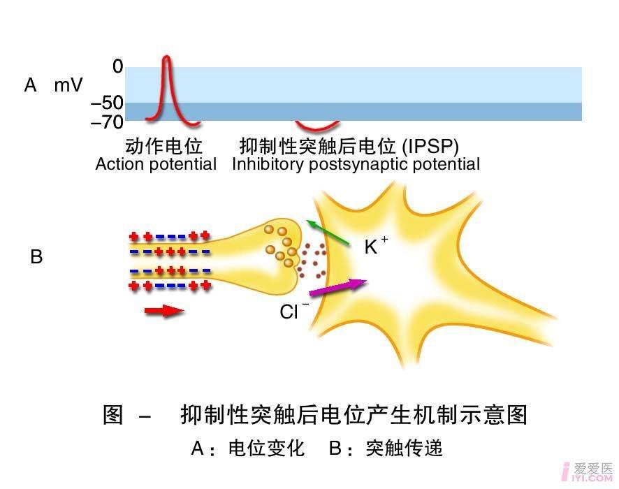6-抑制性突触后电位产生机制示意图.jpg