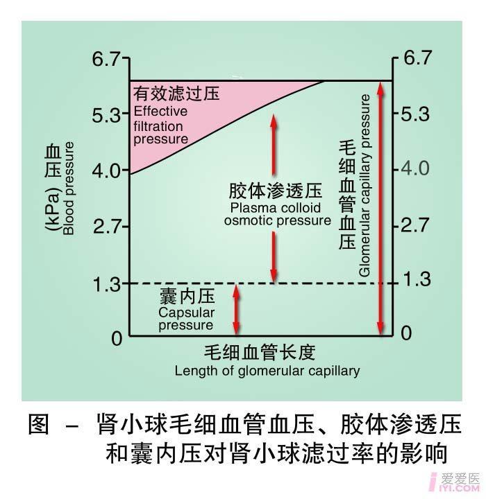 7-肾小球毛细血管血压胶体渗透压和囊内压对肾小球滤过率的影响 .jpg