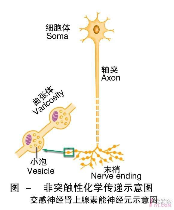 8-非突触性化学传递示意图.jpg