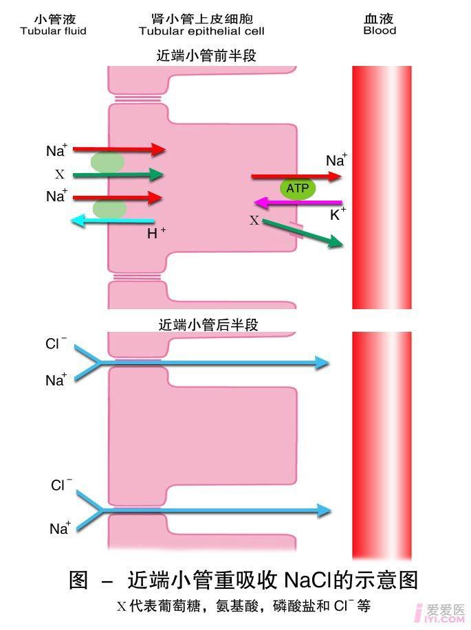 9-近端小管重吸收NaCl的示意图.jpg