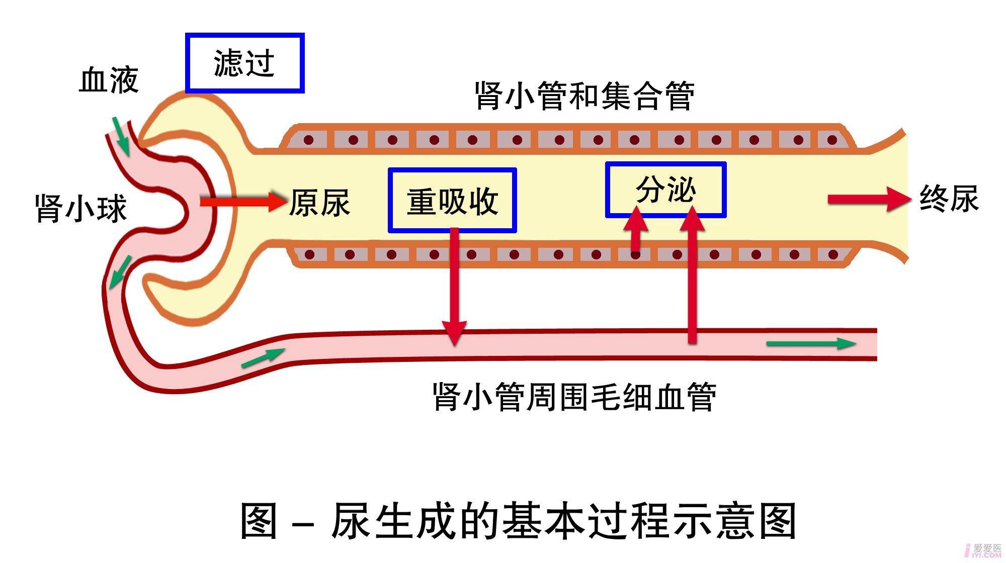 尿生成的基本过程.jpg