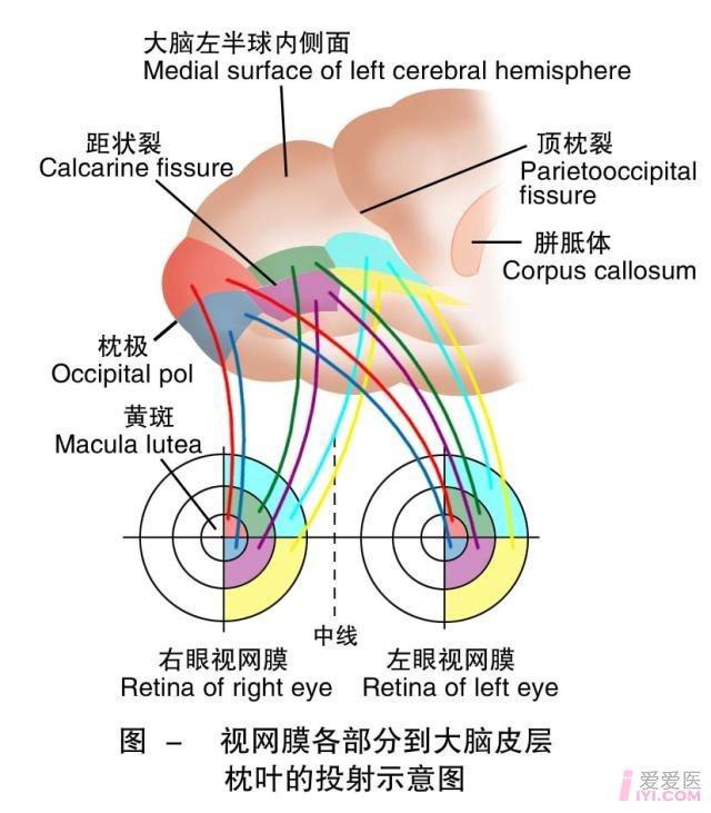 20-视网膜各部分到大脑皮层枕叶的投射.jpg